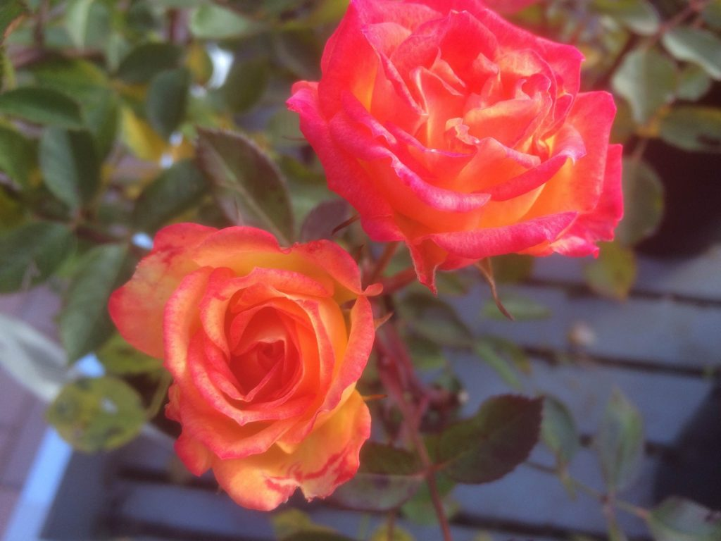 roses-sharnford-garden-centre